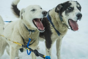 sled dogs